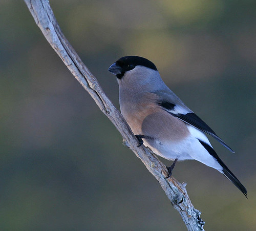 Domherre - Eurasian Bullfinch - Pyrrhula pyrrhula (female)