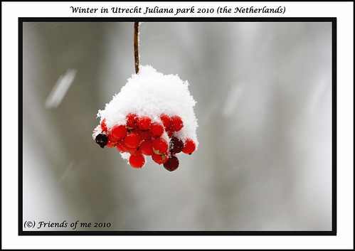 snow berries Juliana park Utrecht (the Netherlands)