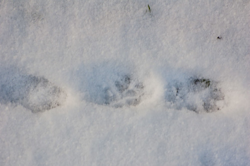 Fox footprints