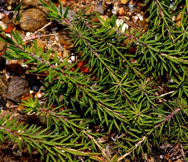 Linum suffruticosum  L. - LINACEAE - Arroyo del Laurel - Mijas (Málaga) (3)