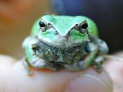 animal, amphibian, toad, frog, macro photography, green, fauna, close-up, ranidae, bullfrog,