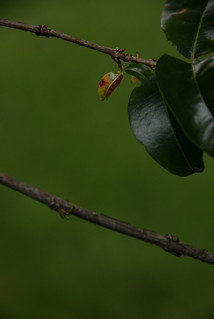 Imagen de Jardin Botanico José Celestino Mutis. green hoja yellow ilovenature photography leaf drops nikon colombia bokeh amarillo nikkor fotografía d60 ufraw 18200mm guayacán smallleaf jardínbotánicodebogotá bokehlicios creativecommonscentral jardínbotánicodebogotájosécelestinomutis hojapequeña lafoensiaacuminata taxonomy:binomial=lafoensiaacuminata