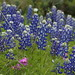 Memories of Spring in Texas by beegardener
