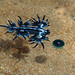 Glaucus atlanticus: The Blue Dragon 1 DSC_5634
