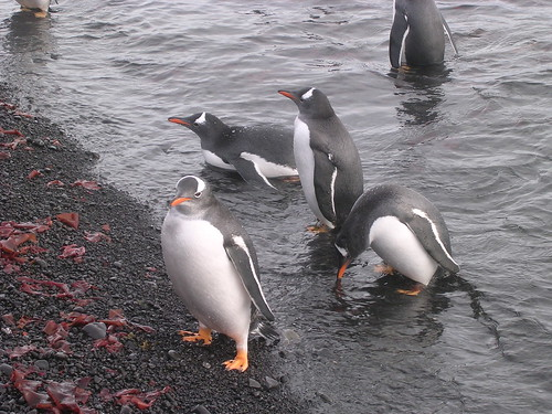 Gentoo penguins by Iain B. of Over