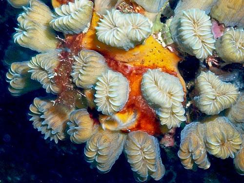 Flower Coral, Belize