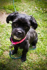 affenpinscher(0.0), dog breed(1.0), animal(1.0), puppy(1.0), dog(1.0), schnoodle(1.0), pet(1.0), havanese(1.0), schnauzer(1.0), miniature schnauzer(1.0), patterdale terrier(1.0), carnivoran(1.0),