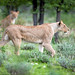 Etosha lionesses