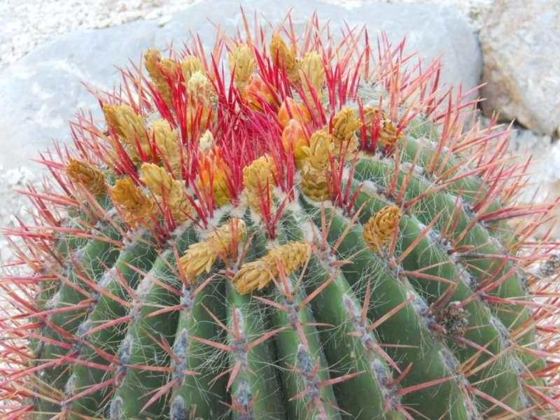Ferocactus stainesii 'Pilosus' 2