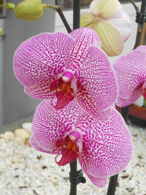Phalaenopsis hibrido v 3