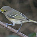 White-eyed Vireo - Photo (c) Jerry Oldenettel, some rights reserved (CC BY-NC-SA)
