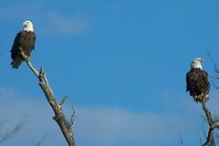 eagle pair 663