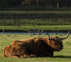 cattle-like mammal, animal, prairie, farm, field, grass, mammal, fauna, meadow, cattle, yak, pasture, grassland,