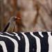 Oxpecker by biancapreusker