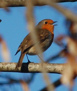 a robin in full song