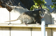 raccoon(0.0), procyonidae(0.0), wildlife(0.0), animal(1.0), opossum(1.0), virginia opossum(1.0), possum(1.0), common opossum(1.0), mammal(1.0), fauna(1.0),