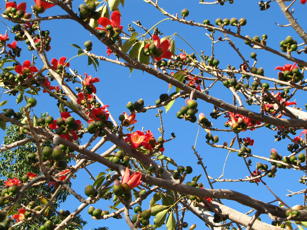 дерево сейба