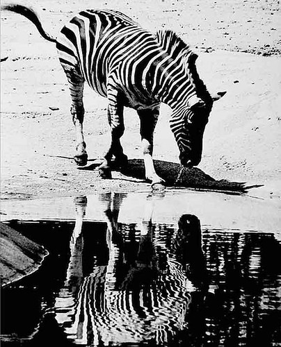 zebra admires own reflection