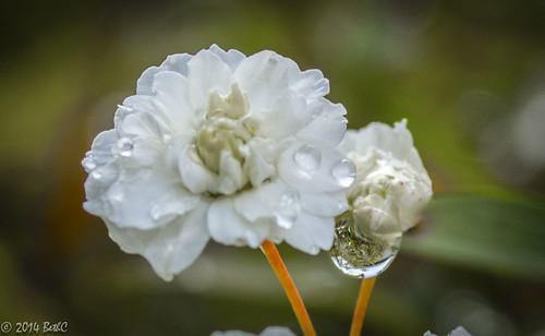 85-365 Flower Drops