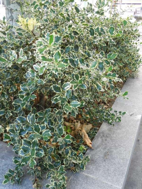 Ilex aquifolium 'Golden Queen' v 1