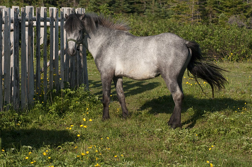 0103 Newfoundland Pony Stallion, Change Island, NL