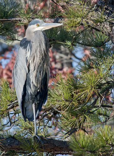 Great Blue Heron by Alida's Photos