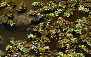 صورة Botanical Garden قرب بورتو أليغري. fauna turtle botanicalgarden redearedslider