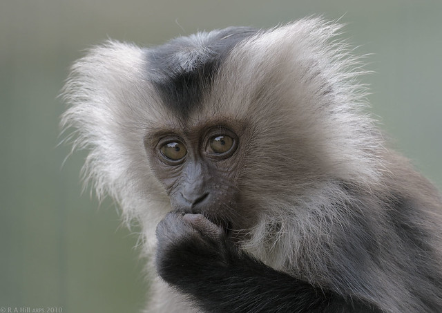 Lion-tailed macaque infant