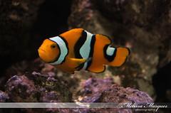 coral reef, anemone fish, coral, fish, coral reef fish, organism, marine biology, invertebrate, macro photography, fauna, underwater, reef, aquarium,