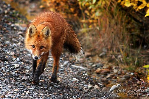 Fox2sm