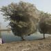 Trees cocooned in spiders webs, an unexpected side effect of the flooding in Sindh, Pakistan by DFID - UK Department for International Development