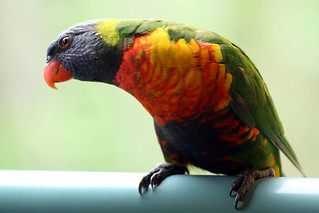 Friendly lorikeet