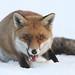 Snow Fox by Dan Belton ( No Badger Cull )