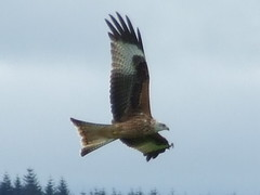 red kites and other birds