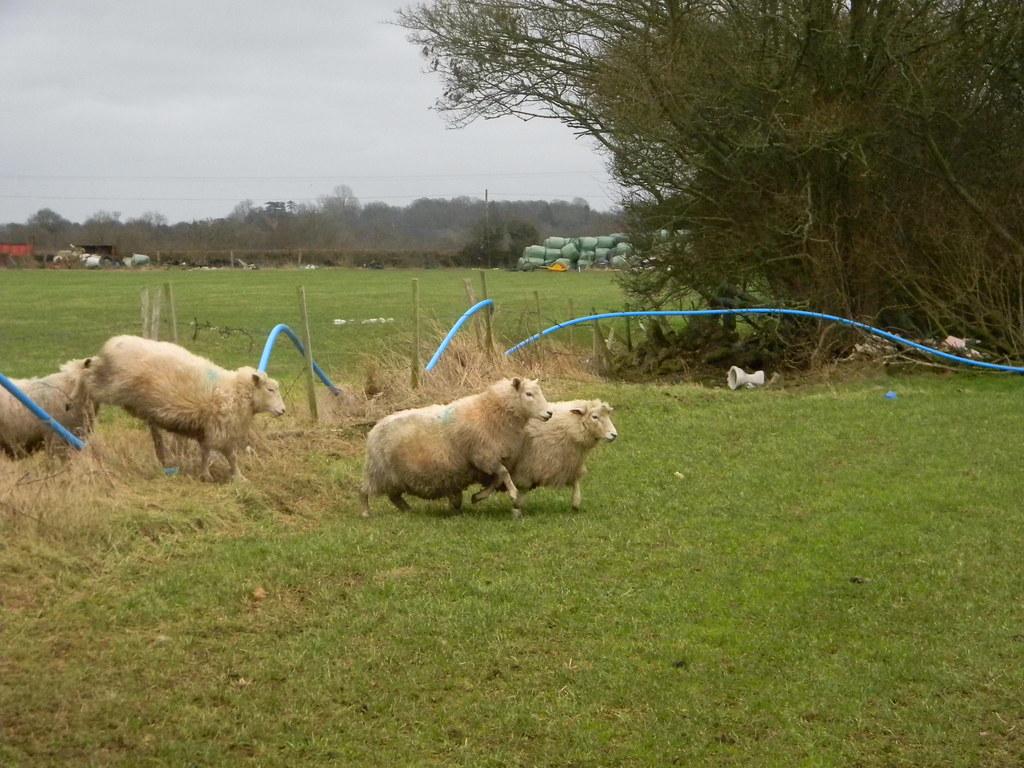Sheeplechase Penshurst Circular