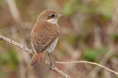 Red-Backed Shrike (K.Webb)