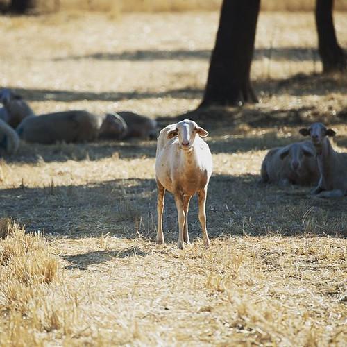 Y tú que miras!! #sheep #oveja #igersciudadreal #nikon #teleobjetivo #alcoba #mirada #igersspain