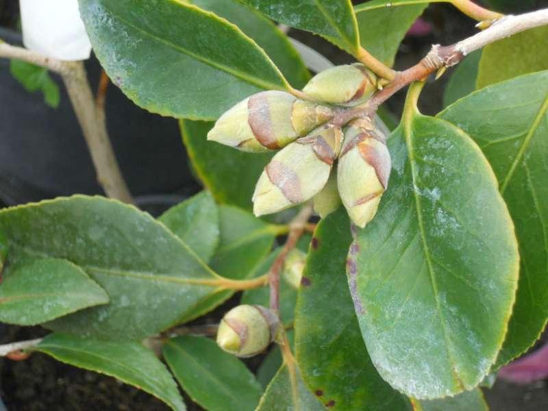 Camellia sasanqua 'Cleopatra' 2