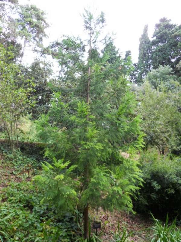 Cryptomeria japonica v 2