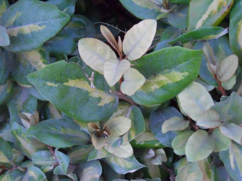 Elaeagnus pungens 3