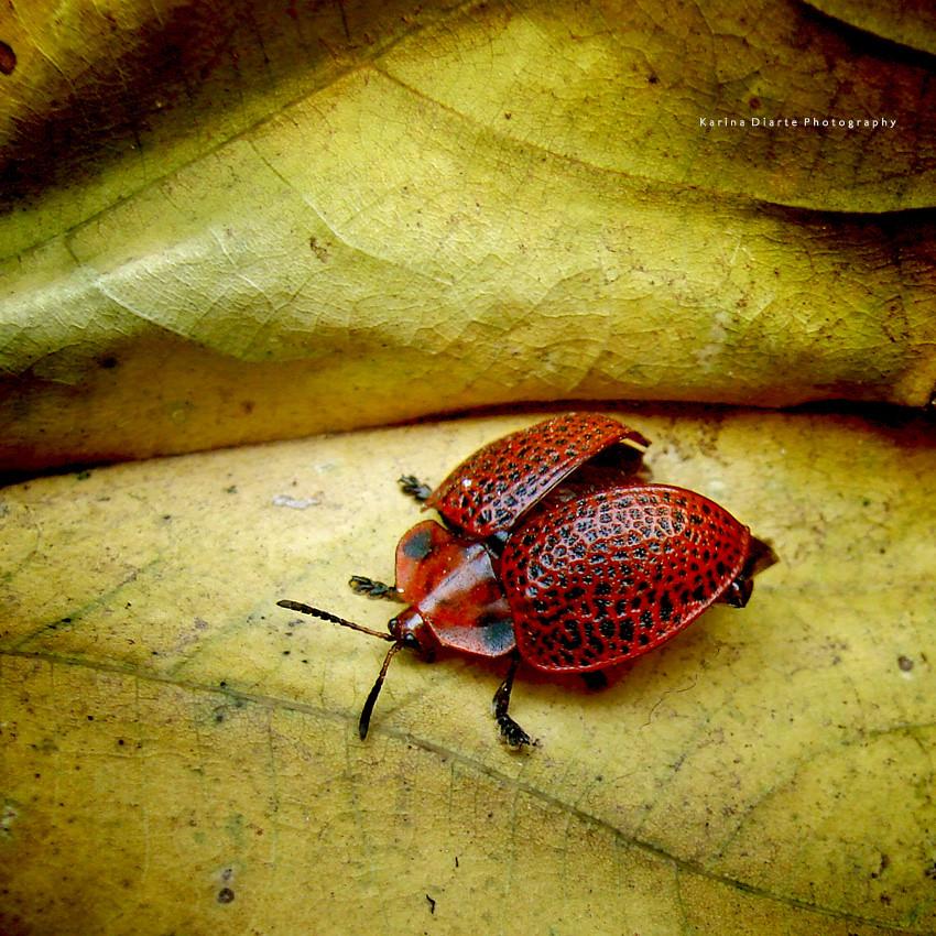 Botanochara macularia
