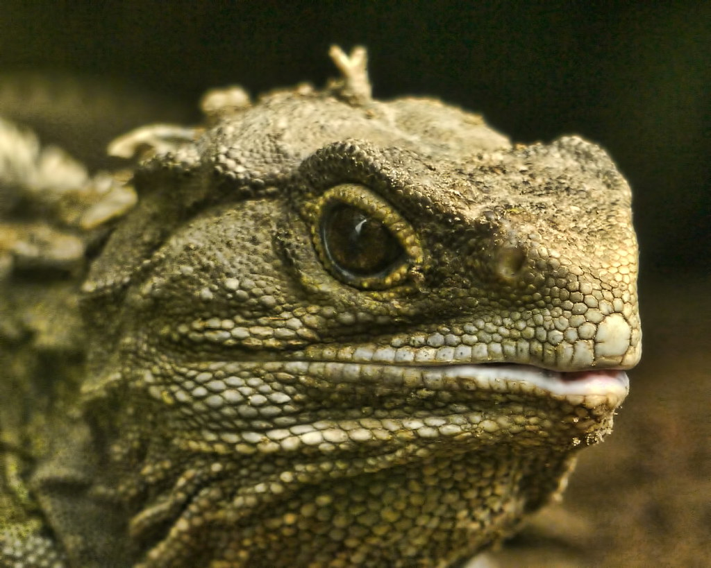 Tuatara from Sid Mosdell on flickr