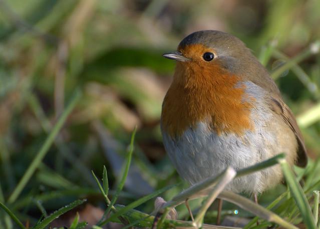 Robin - Petirrojo (Erithacus rubecula)