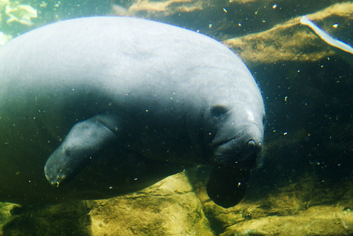 aww manatee face