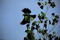 Six Aspects of a Blackbird