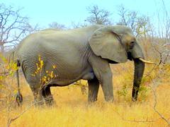 South Africa. Safari. Elephants