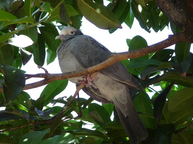 White crowned pigeon - photo#33