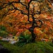 Portland Fall Japanese Maple by Mstraite