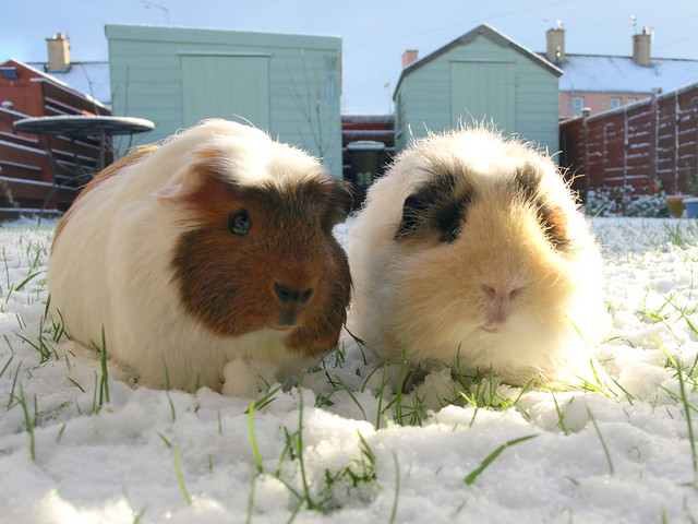 guinea pigs in the snow