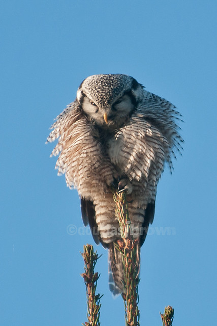 hawk and owl relationship